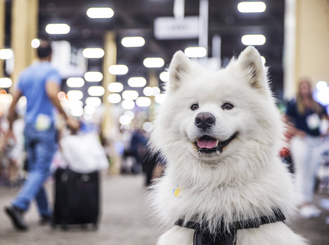 Samoyed Milo, right, watches attendees during SuperZoo, an annual trade show for pet retailers at the Mandalay Bay Convention Center on Tuesday, June 26, 2018, in Las Vegas. Benjamin Hager Las Veg ...