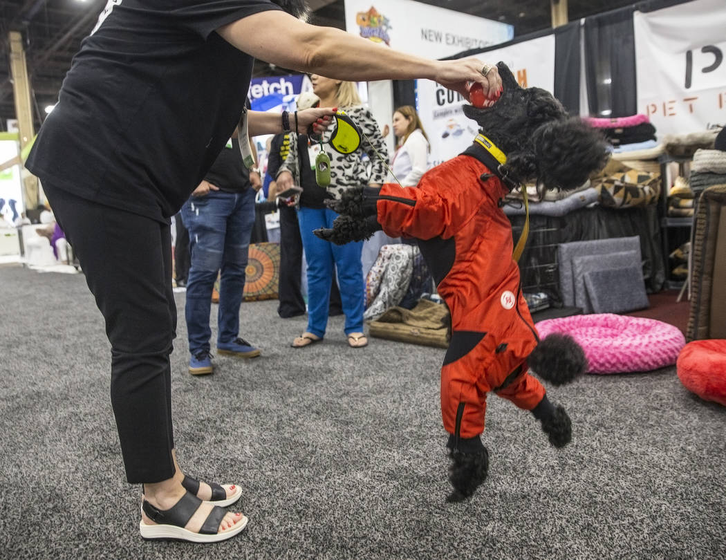 Miniature poodle Max, right, leaps for a ball from owner Tatiana Rabinovich with Zippy Dynamics during SuperZoo, an annual trade show for pet retailers at the Mandalay Bay Convention Center on Tue ...