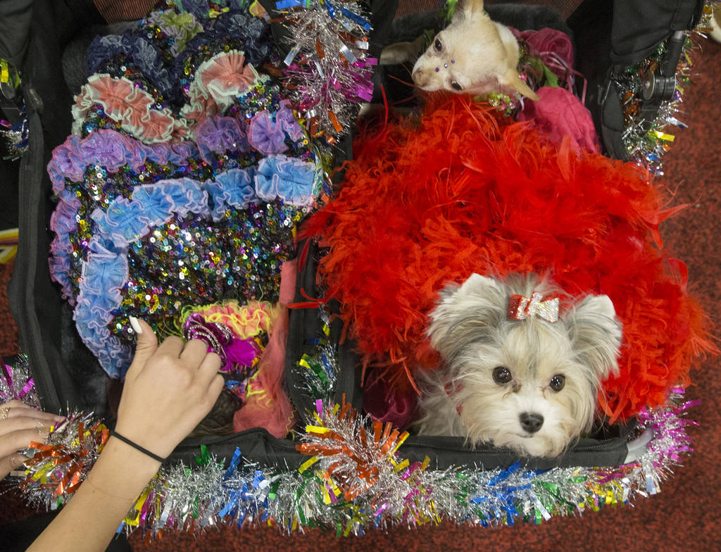 Prissy, right, a Biewer Yorkie, at SuperZoo at the Mandalay Bay Convention Center on Tuesday, June 26, 2018, in Las Vegas. Benjamin Hager Las Vegas Review-Journal @benjaminhphoto