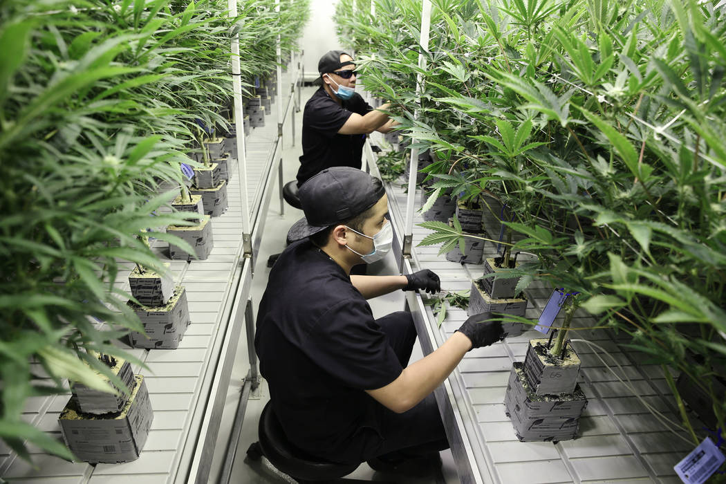 Cultivators Christian Lingatong, top, and Ryne Yusico, trim marijuana plants in the Redwood Cultivation flowering grow room in Las Vegas, Saturday, June 2, 2018. Erik Verduzco Las Vegas Review-Jou ...