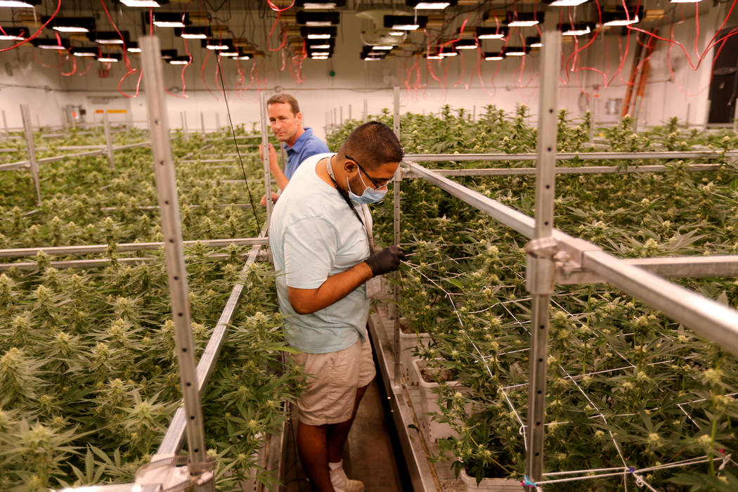 Exhale Nevada marijuana dispensary CEO Pete Findley, left, and Director of Cultivation Abraham Ballantine check one of the grow rooms at their Las Vegas facility Thursday, June 28, 2018. K.M. Cann ...