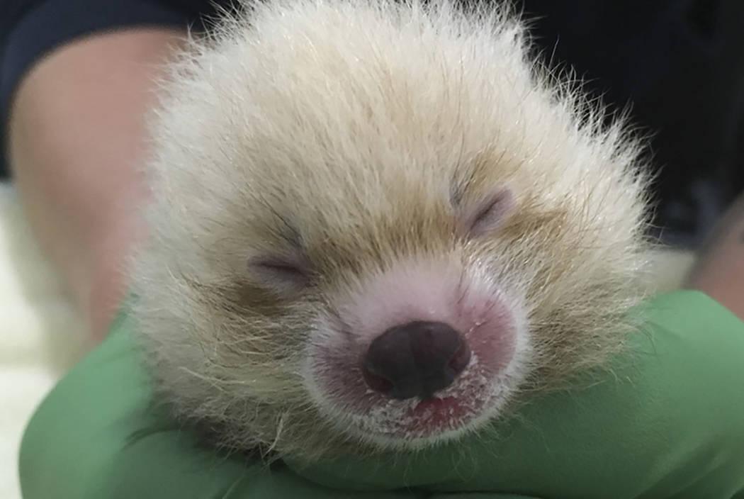 The Sacramento Zoo shows off the zoo's new baby red panda. (Sacramento Zoo via AP)