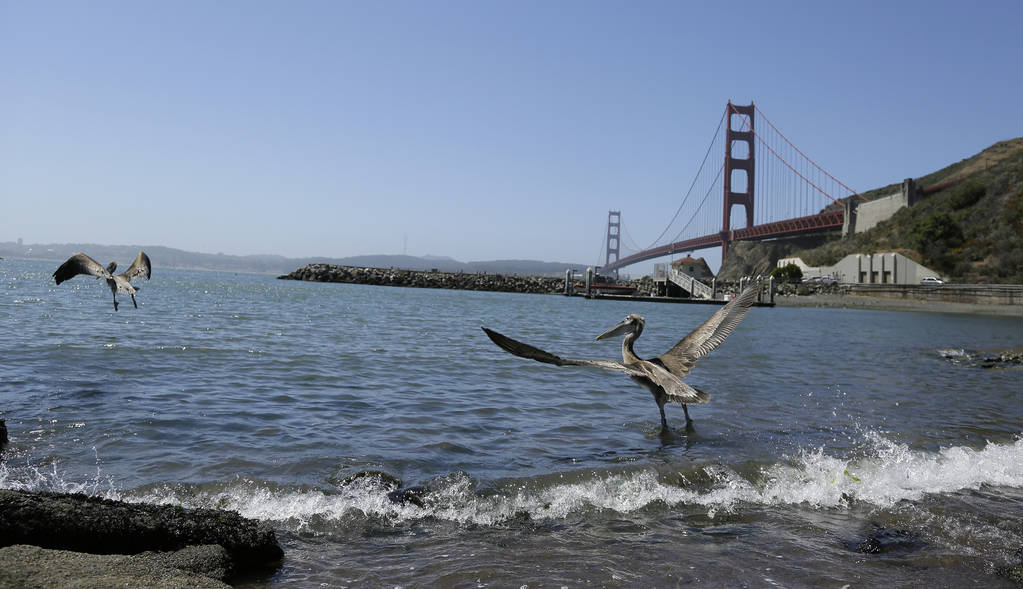 A pair of brown pelicans head for San Francisco Bay after being released at Fort Baker with the Golden Gate Bridge in the background Friday, June 29, 2018, in Sausalito, Calif. (AP Photo/Eric Risberg)
