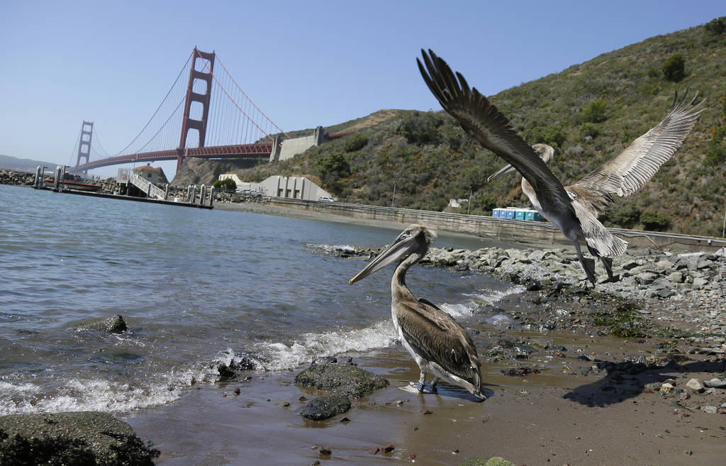 A pair of brown pelicans head for San Francisco Bay after being released at Fort Baker with the Golden Gate Bridge in the background Friday, June 29, 2018, in Sausalito, Calif. (AP Photo/Eric Ris ...