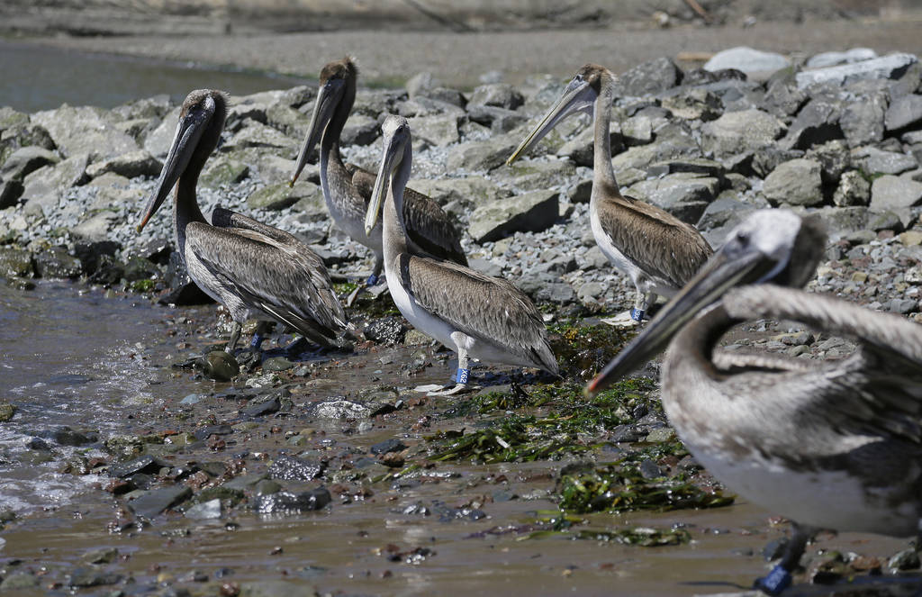 A group of brown pelicans make their way toward water after being released at Fort Baker Friday, June 29, 2018, in Sausalito, Calif. (AP Photo/Eric Risberg)
