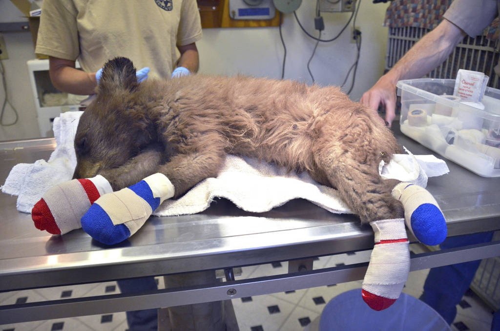 A female bear cub lies on a table with bandages on her burned paws in Del Norte, Colo., June 27, 2018. (Joe Lewandowski/ Colorado Parks and Wildlife via AP)