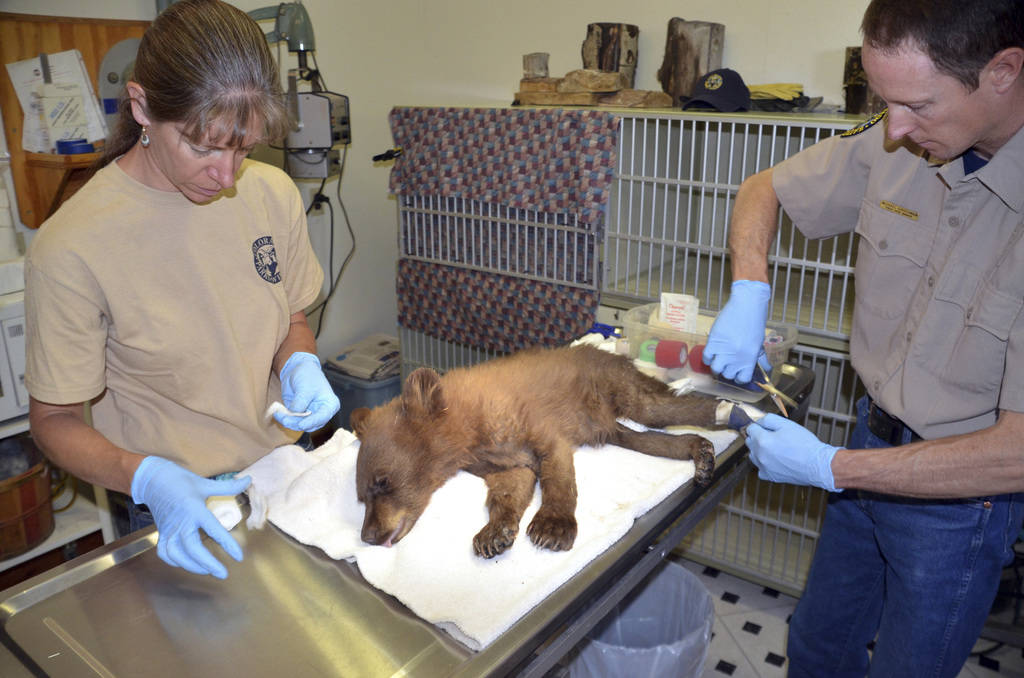Tracey Sirochman, left, and Michael Sirochman, right, treat a female bear cub's burned paws on June 27, 2018, at a Colorado Parks and Wildlife facility in Del Norte, Colo. (Joe Lewandowski/ Colora ...