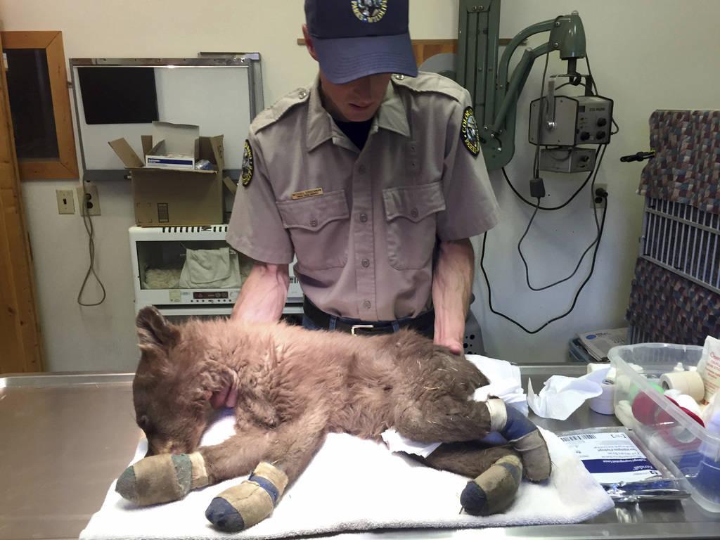 Michael Sirochman, a veterinary technician for Colorado Parks and Wildlife, treats a bear cub whose paws were burned in a Colorado wildfire in this June 27, 2018, photo. (Joe Lewandowski/ Colorado ...