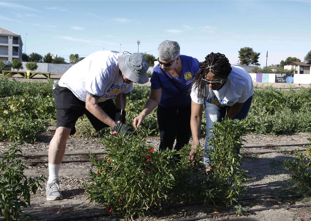 Dr. Denise Tropea, center, harvests chili peppers with members of Lion's International, Jack Kampfer of Hawaii, left, and Leonette Jones of New York City, right, during a tour of Vegas Roots Commu ...