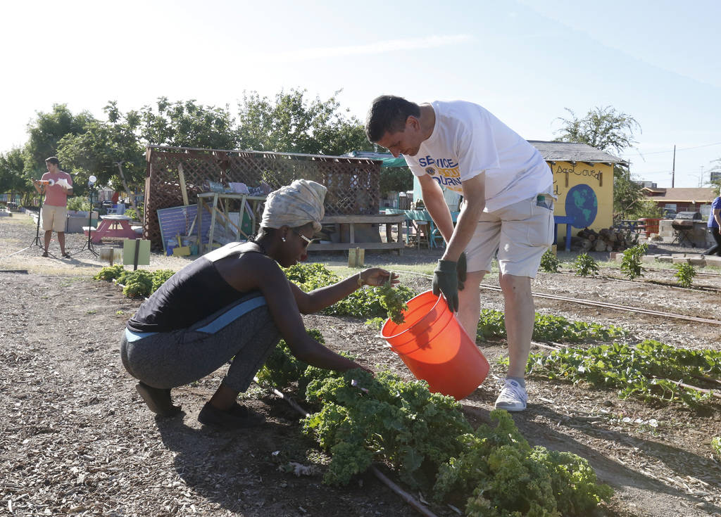 Niquea Tayler, employee at Vegas Roots Community Garden, harvests Kale with Stefano Ponchia of Italy during a tour of Vegas Roots Community Garden on Friday, June 29, 2018, in Las Vegas. Bizuayehu ...
