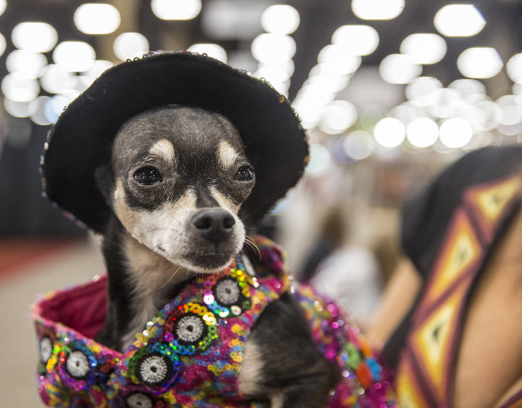 Chihuahua Pacos Dos, left, with owner Ami Cox during SuperZoo, an annual trade show for pet retailers at the Mandalay Bay Convention Center on Tuesday, June 26, 2018, in Las Vegas. Benjamin Hager ...