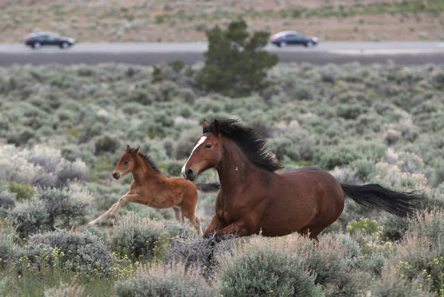 A herd of wild horses graze near Highway 50 in Mound House, Nev., on Tuesday, April 26, 2016. (Cathleen Allison/Las Vegas Review-Journal)
