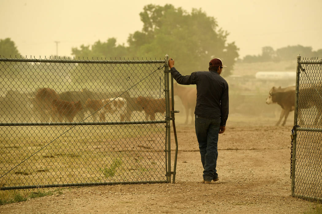 Ty Warren leaves a pen where his father's cattle are being kept at the Huerfano County Fairgrounds where displaced people have brought their pets for safe keeping as the Spring Fire continues to b ...