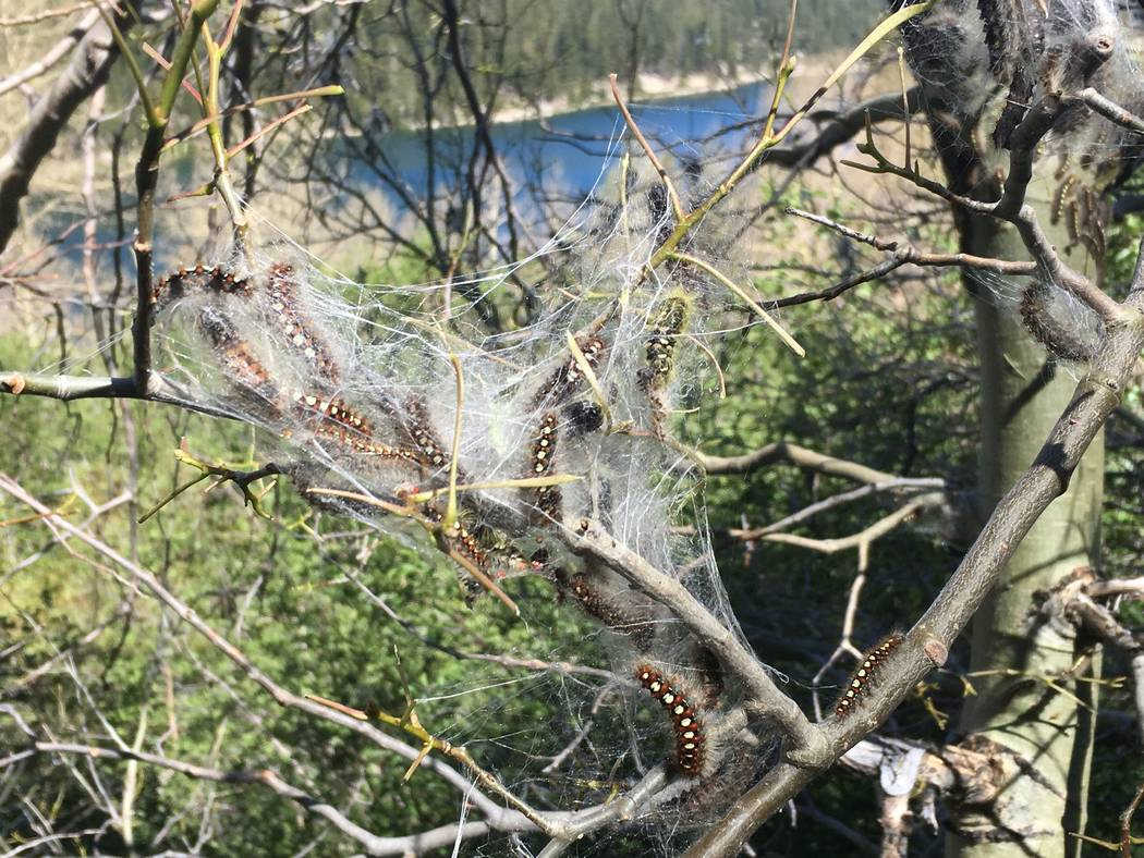 White satin moth caterpillars venture out from their web tent in a tree at Lake Tahoe Nevada State Park on Thursday. (Gene Phillips Nevada Division of Forestry)