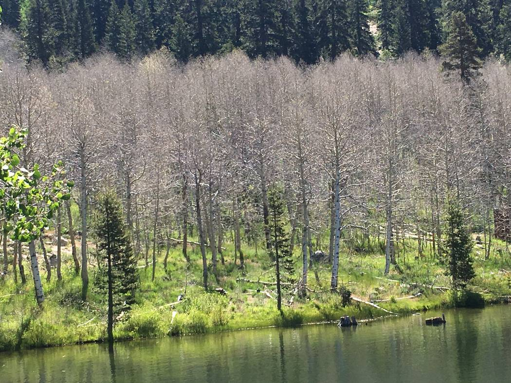 Aspen trees stripped bare of their leaves by hungry white satin moth caterpillars stand near the water Thursday at Lake Tahoe Nevada State Park. (Gene Phillips Nevada Division of Forestry)