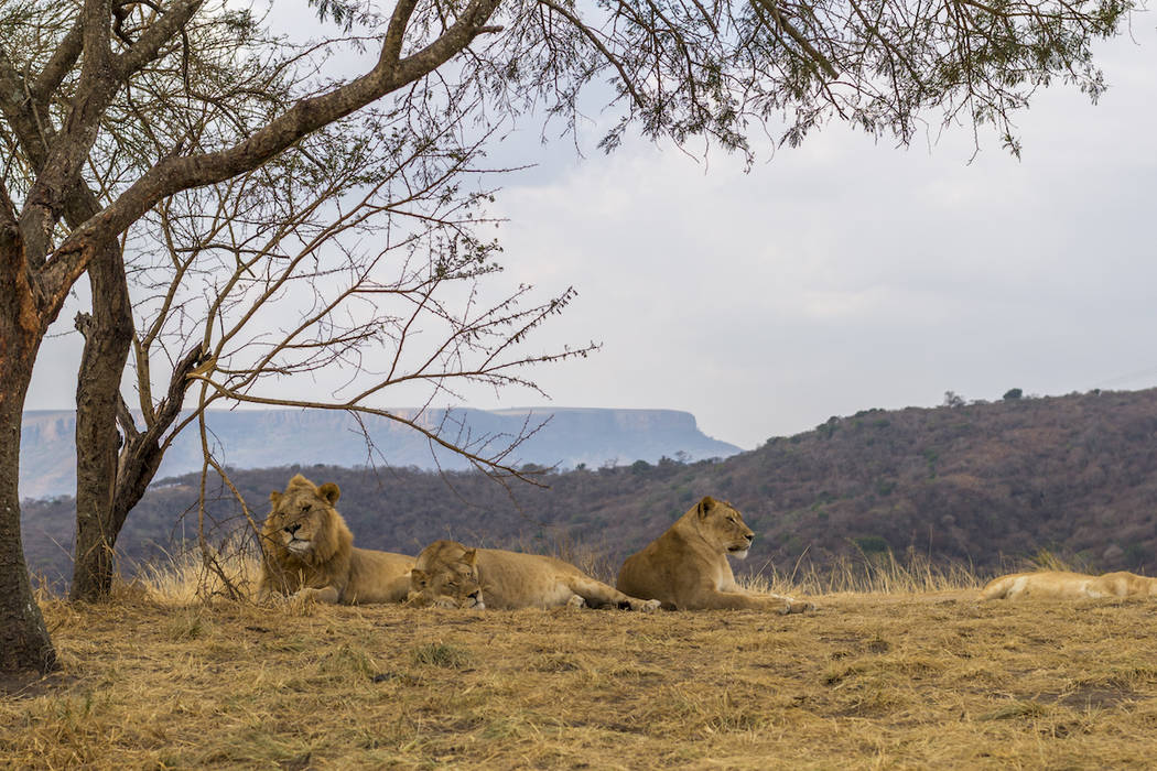 Lions kill poachers illegally hunting rhinos in South Africa