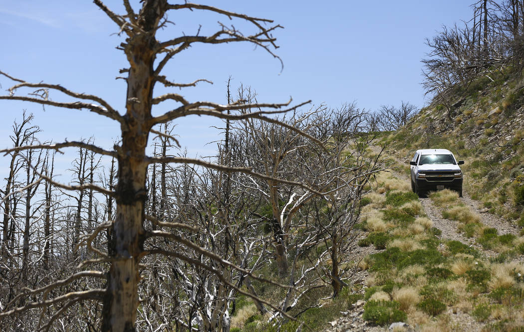 A U.S. Forest Service moves through land that was affected by the Carpenter 1 fire in the Spring Mountains National Recreation Area on Friday, July 6, 2018. Chase Stevens Las Vegas Review-Journal ...