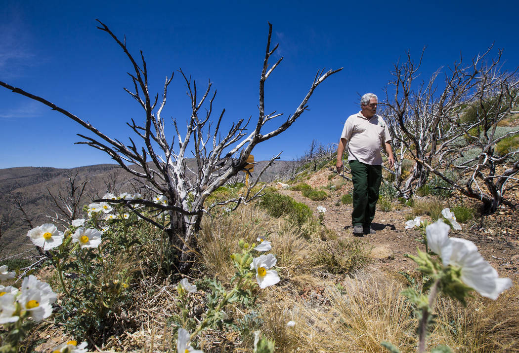 James Hurja, U.S. Forest Service soil scientist, walks along a trail for Griffith Peak in the Spring Mountains National Recreation Area on Friday, July 6, 2018. Chase Stevens Las Vegas Review-Jour ...