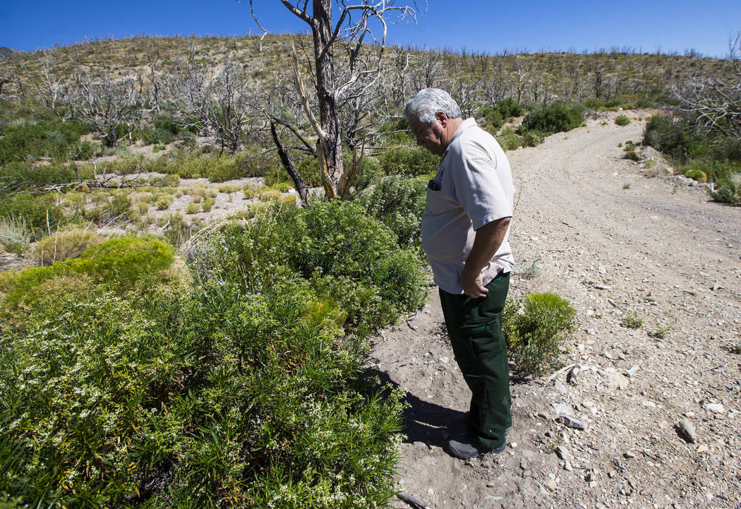 James Hurja, U.S. Forest Service soil scientist, surveys growth in areas affected by the Carpenter 1 fire in the Spring Mountains National Recreation Area on Friday, July 6, 2018. Chase Stevens La ...