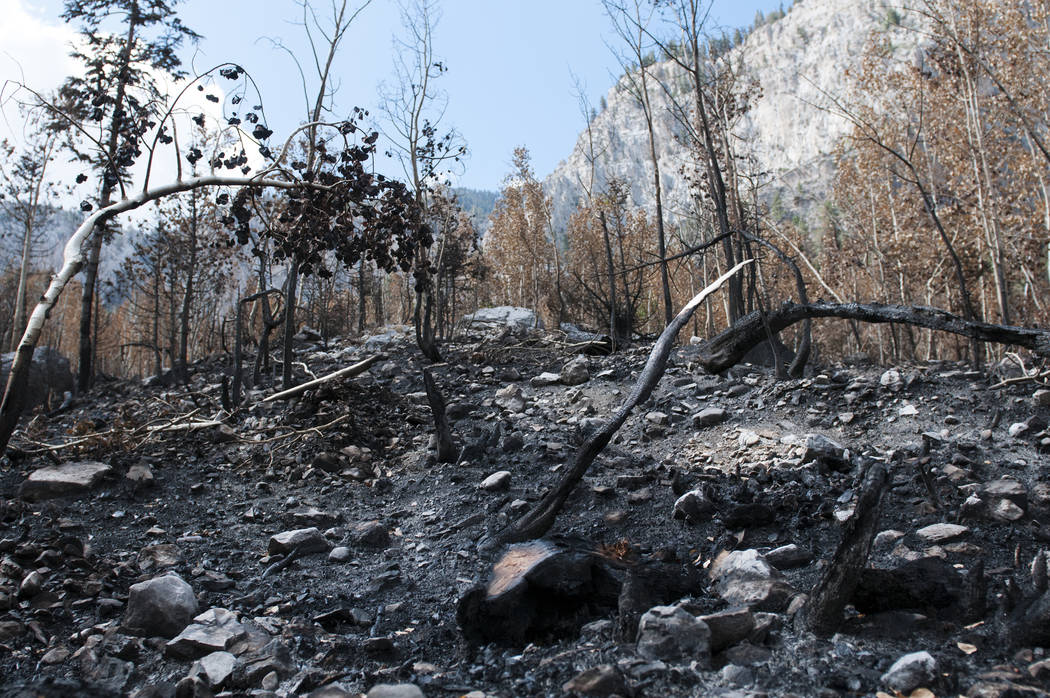 Fire damage is shown on the soil and trees from the Carpenter 1 fire at Cathedral Rock, Wednesday, July 24, 2013 at Mt. Charleston in Las Vegas, Nev. (Erik Verduzco/Las Vegas Review-Journal)