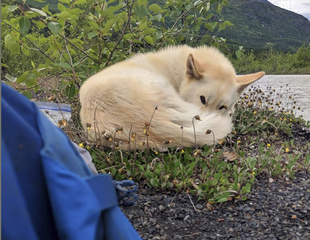 This Tuesday, June 20, 2018 photo by Amelia Milling shows a 7-year-old Alaskan husky named Nanook, keeping her company outside her tent, after being credited with helping rescue her when she injur ...