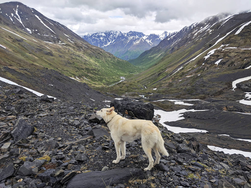 This Tuesday, June 19, 2018 photo by Amelia Milling shows a 7-year-old Alaskan husky named Nanook that is credited with helping rescue her when she injured was hiking a trail in the Chugash State ...