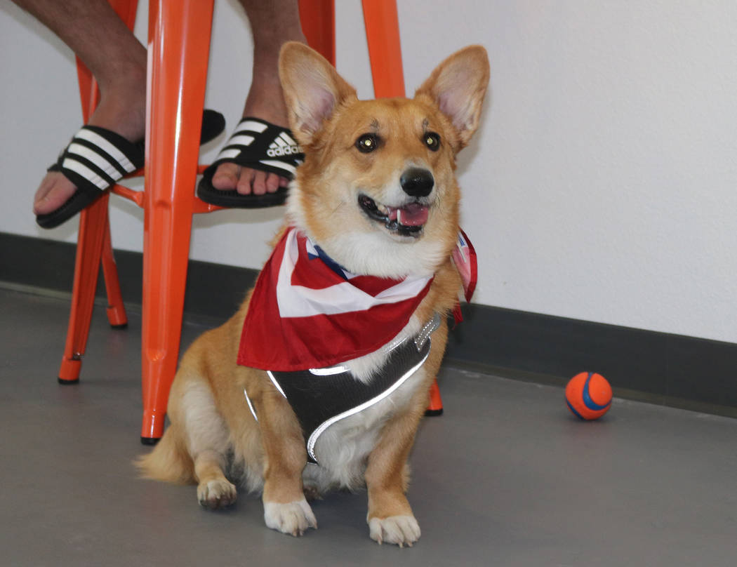 A corgi rests at Barx Parx, a new indoor dog park, in Henderson on Wednesday, July 4, 2018. (Rochelle Richards/Las Vegas Review-Journal) @RoRichards24