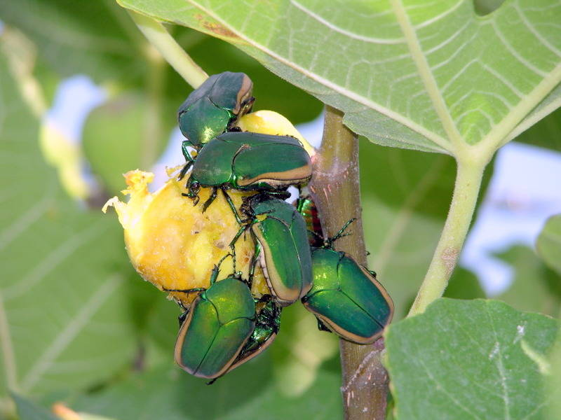 Bob Morris These green June beetles are attacking fig fruit.