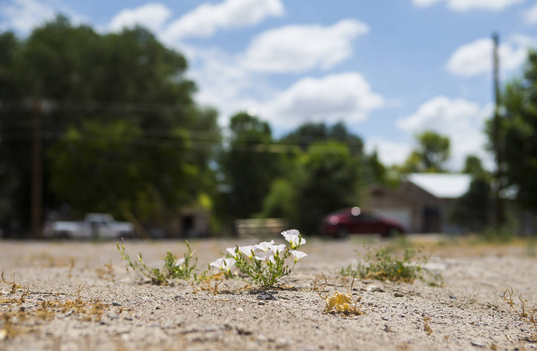 Flowers grow in the vacant lot in the wake of the deadly 2016 bombing in Panaca on Thursday, July 12, 2018. Chase Stevens Las Vegas Review-Journal @csstevensphoto