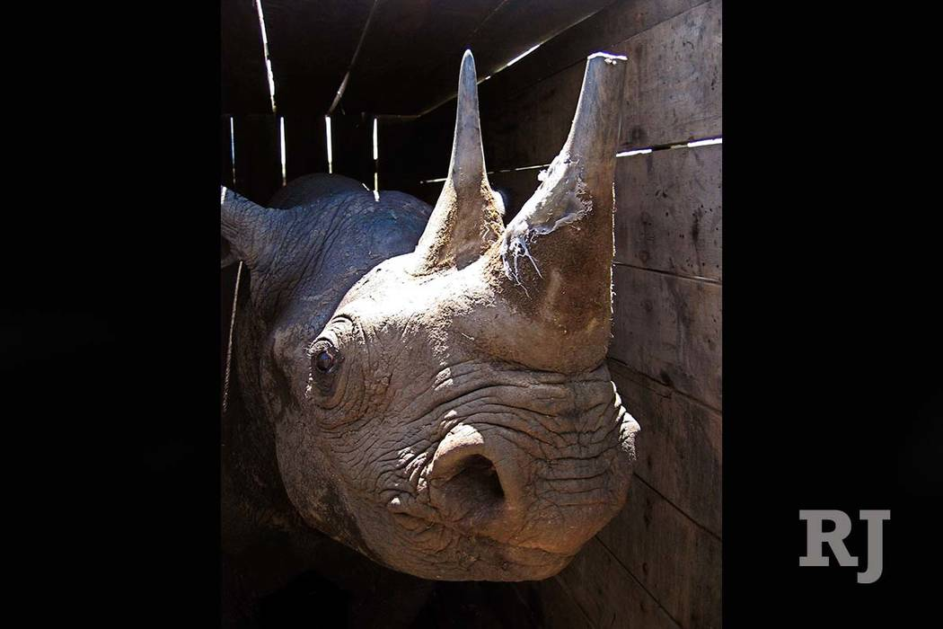 In this file photo taken on Saturday, April 30, 2005, a fully grown 30-year-old female black rhino, after it had its horn cut to place a radio location device stands in wooden crate before being r ...
