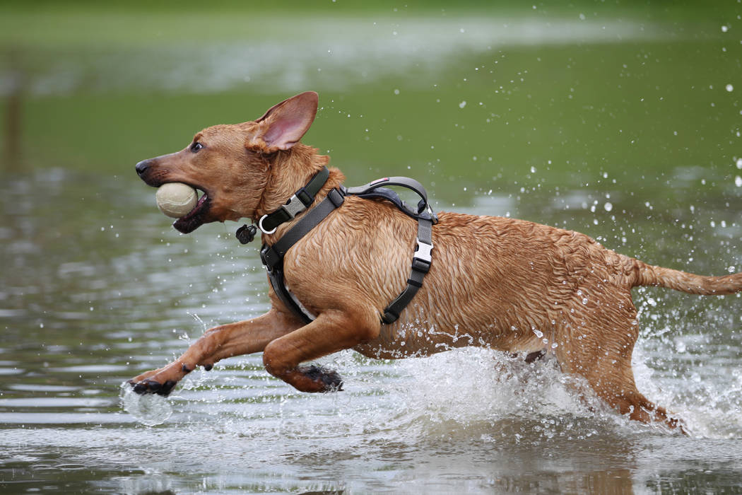 Hannah Fleming's dog, Cooper, plays in the water after a rain storm flooded a park near Wagonwheel Drive and Old Vegas Trail in Henderson, Thursday, July 12, 2018. (Erik Verduzco/Las Vegas Review- ...