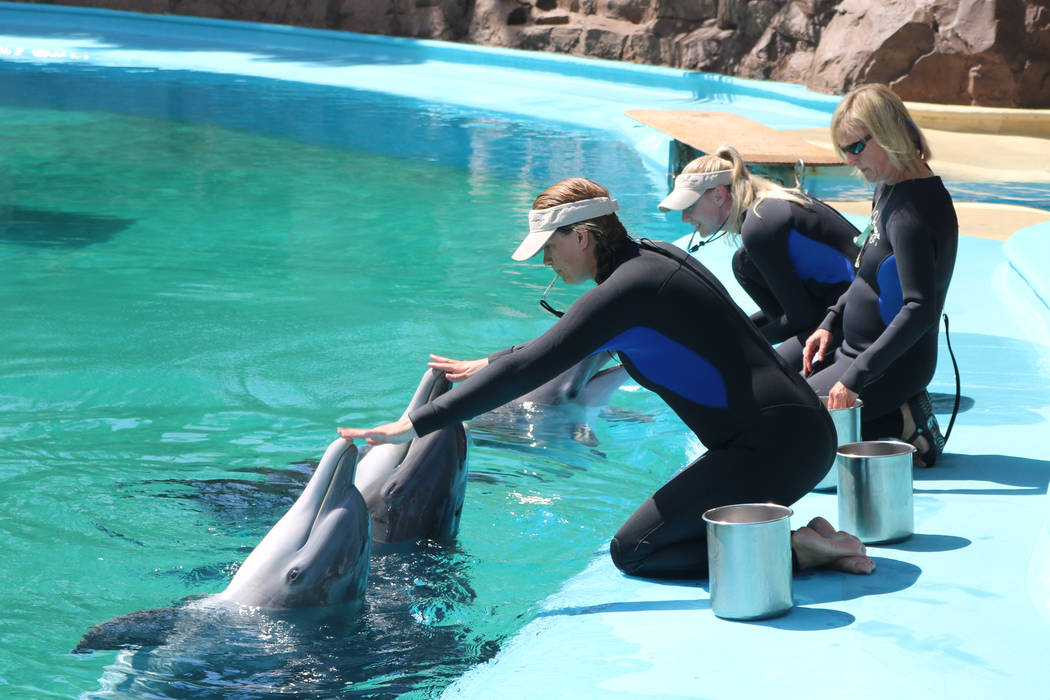 Trainers interact with dolphins at The Mirage's Siegfried and Roy's Secret Garden and Dolphin Habitat on July 11, 2018 in Las Vegas. (Rochelle Richards/Las Vegas Review-Journal) @RoRichards24
