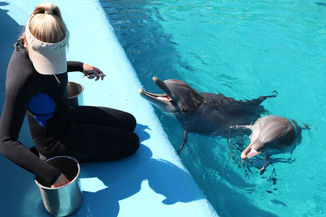 Dolphin care specialist Lacey Russell feeds dolphin calf, Coco, and her mom, Huf and Puf, at The Mirage's Siegfried and Roy's Secret Garden and Dolphin Habitat on July 11, 2018 in Las Vegas. (Roch ...