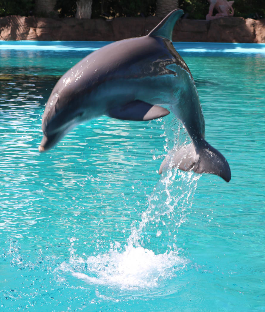 Dolphin calf, Coco, at The Mirage's Siegfried and Roy's Secret Garden and Dolphin Habitat on July 11, 2018 in Las Vegas. (Rochelle Richards/Las Vegas Review-Journal) @RoRichards24