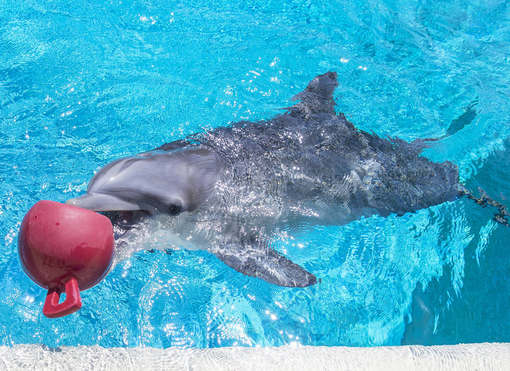 Coco, a one-year-old bottlenose dolphin, celebrated her birthday on Tuesday, July 17, 2018 at Siegfried & Roy's Secret Garden and Dolphin Habitat at The Mirage hotel-casino, in Las Vegas. Benj ...