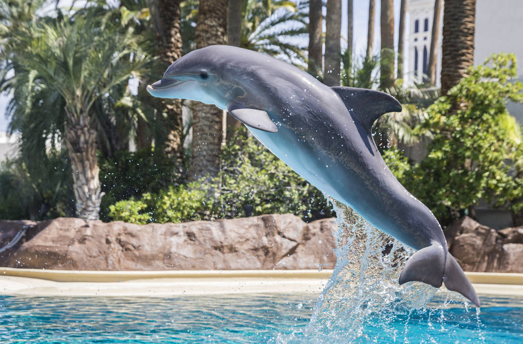 Coco, a one-year-old bottlenose dolphin, leaps in the air while working with her dolphin care specialist at Siegfried & Roy's Secret Garden and Dolphin Habitat on Tuesday, July 17, 2018, at Th ...