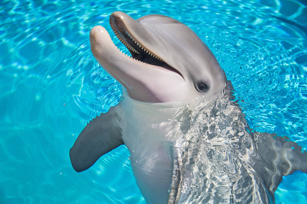 Coco, a one-year-old bottlenose dolphin, celebrated her first birthday on Tuesday, July 17, 2018, at Siegfried & Roy's Secret Garden and Dolphin Habitat, at The Mirage hotel-casino, in Las Veg ...