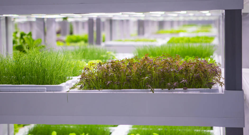 A variety of Evercress produce grows at Oasis Biotech, an indoor farming company, in Las Vegas on Wednesday, July 18, 2018. Chase Stevens Las Vegas Review-Journal @csstevensphoto