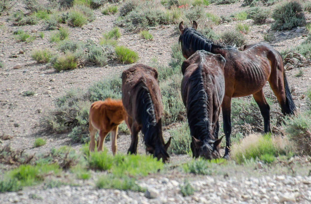 Wild horses graze during an emergency roundup near Cold creek Saturday, May 12, 2018. (Darcy Grizzle)