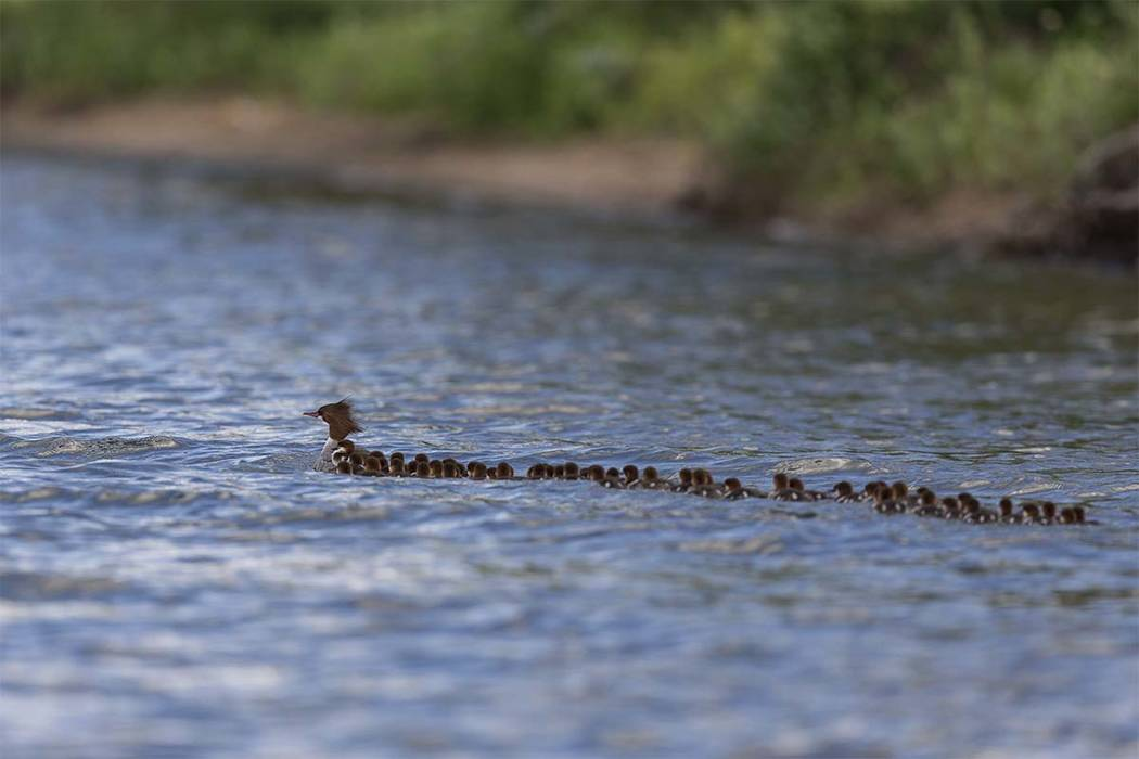 This June 27, 2018, photo provided by Brent Cizek shows a common merganser and a large group of ducklings following her, on Lake Bemidji in Bemidji, Minn. (Brent Cizek/brentcizekphoto.com via AP)