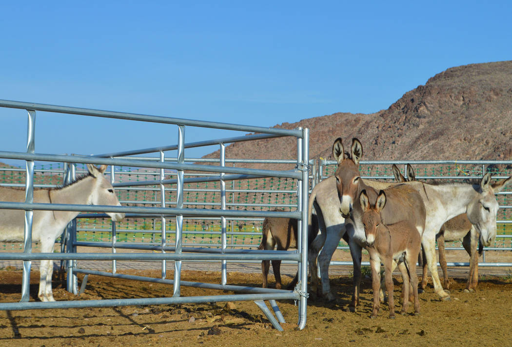 Wild burros are rounded up near the Nye County town of Beatty earlier this month. (Kyle Hendrix/Bureau of Land Management)