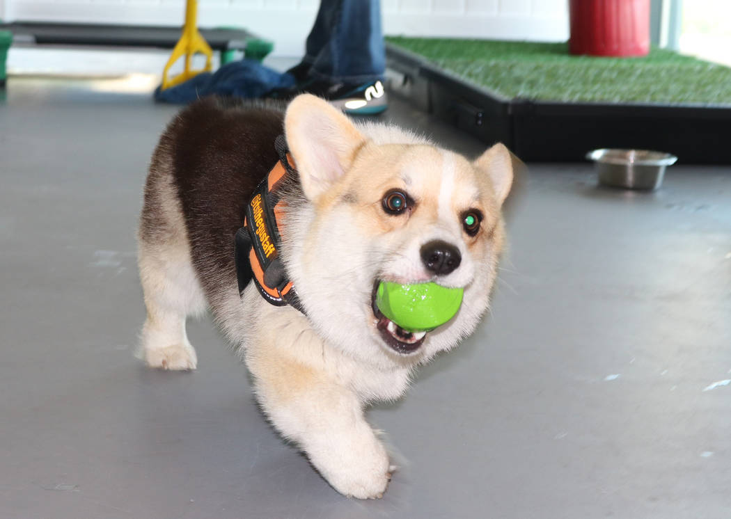 A corgi, Gustaff, fetches a ball at Barx Parx, a new indoor dog park, in Henderson on Wednesday, July 4, 2018. (Rochelle Richards/Las Vegas Review-Journal) @RoRichards24