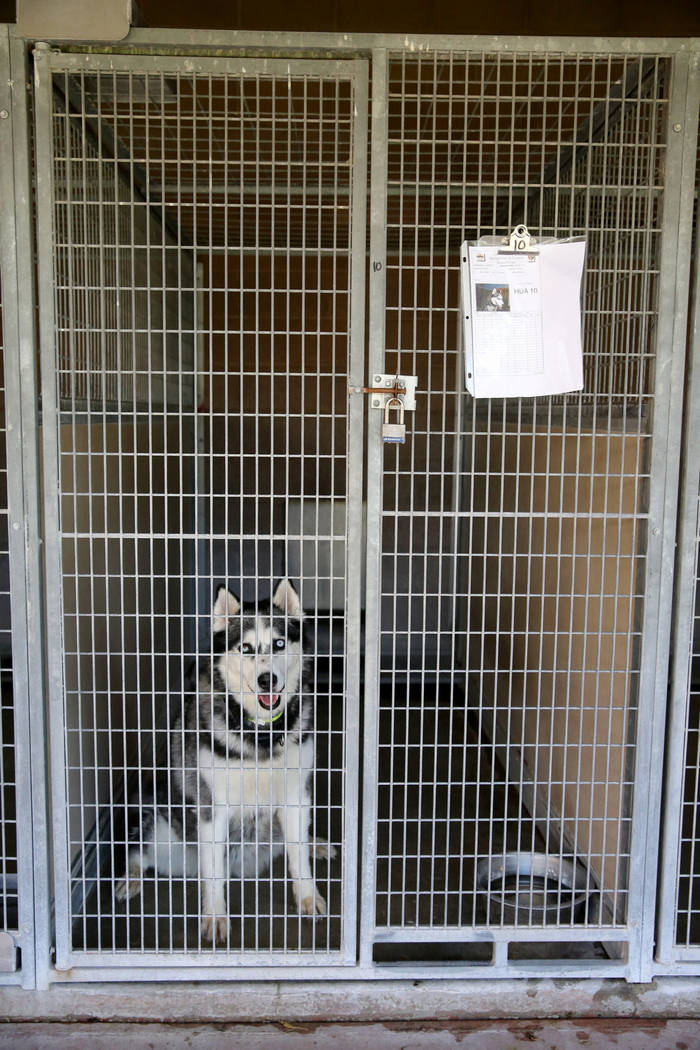 A 7-year-old Siberian husky up for adoption at Henderson Animal Care and Control, Tuesday, July 24, 2018. K.M. Cannon Las Vegas Review-Journal @KMCannonPhoto
