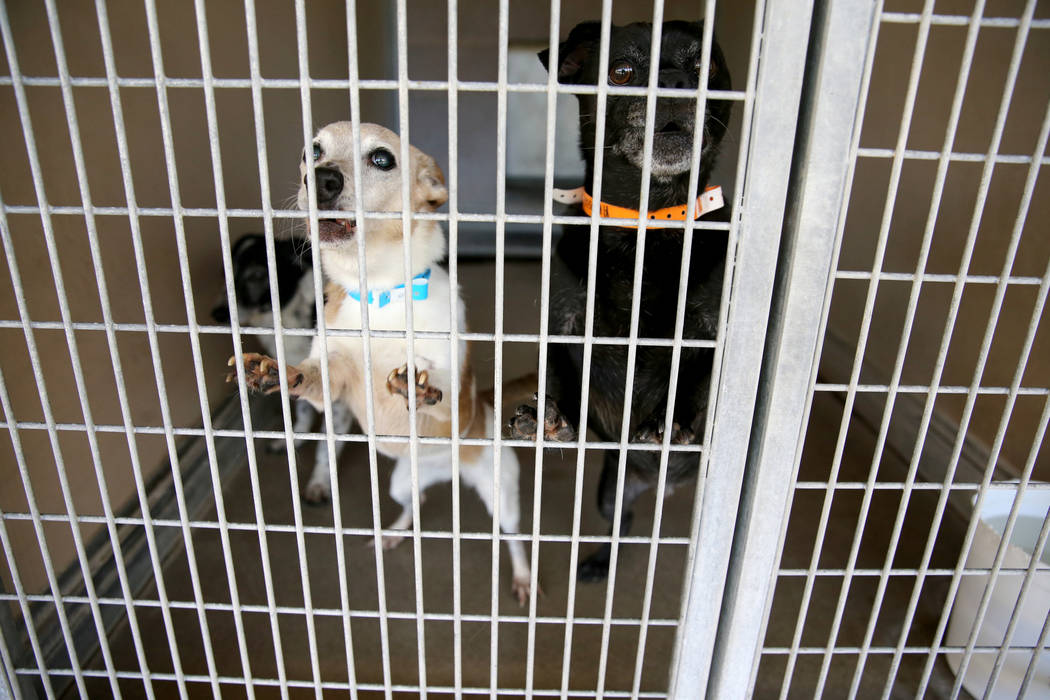 Dogs up for adoption at Henderson Animal Care and Control Tuesday, July 24, 2018. K.M. Cannon Las Vegas Review-Journal @KMCannonPhoto