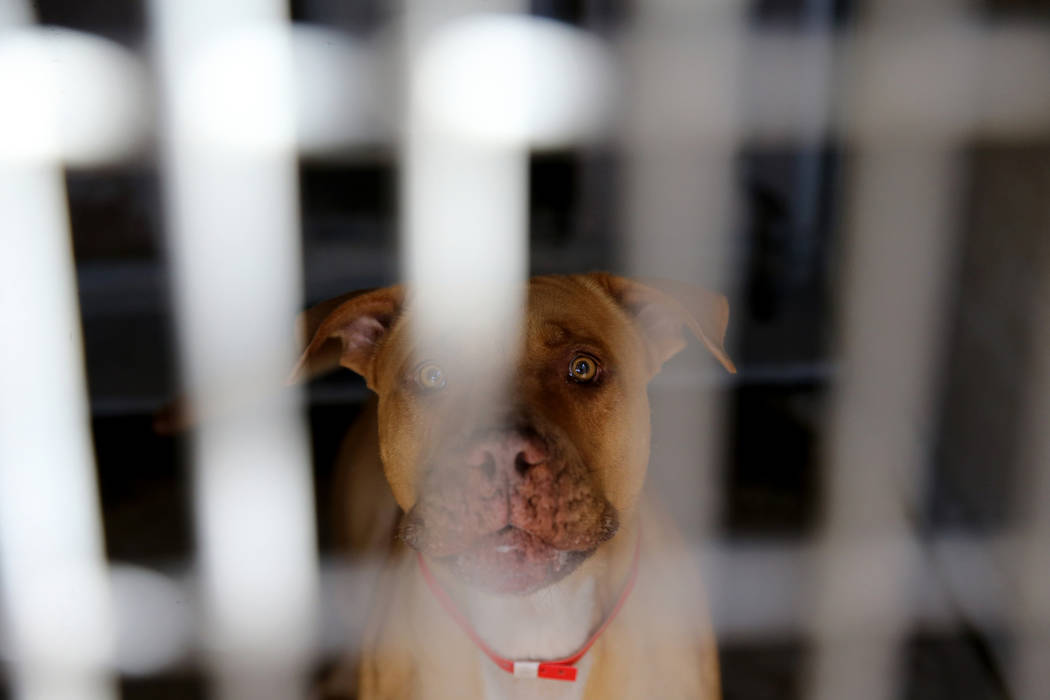 Royal, a 4-year-old pit bull, up for adoption at Henderson Animal Care and Control, Tuesday, July 24, 2018. K.M. Cannon Las Vegas Review-Journal @KMCannonPhoto