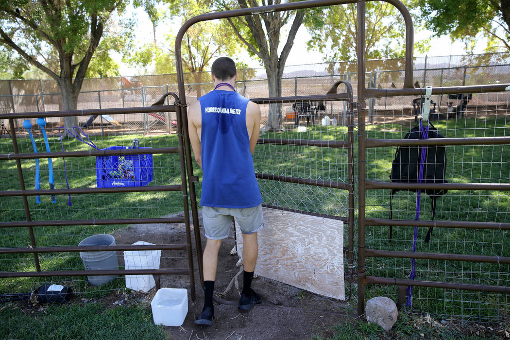 Volunteer Mike Perry prepares to exercise dogs up for adoption at Henderson Animal Care and Control Tuesday, July 24, 2018. K.M. Cannon Las Vegas Review-Journal @KMCannonPhoto