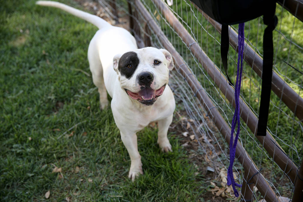 Caine gets some exercise while waiting to be adopted at Henderson Animal Care and Control, Tuesday, July 24, 2018. K.M. Cannon Las Vegas Review-Journal @KMCannonPhoto