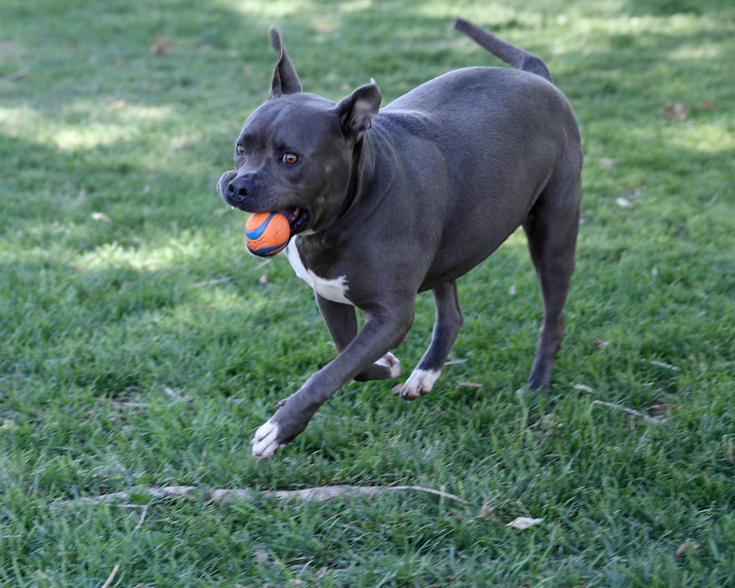 Diamond gets some exercise while waiting to be adopted at Henderson Animal Care and Control, Tuesday, July 24, 2018. K.M. Cannon Las Vegas Review-Journal @KMCannonPhoto