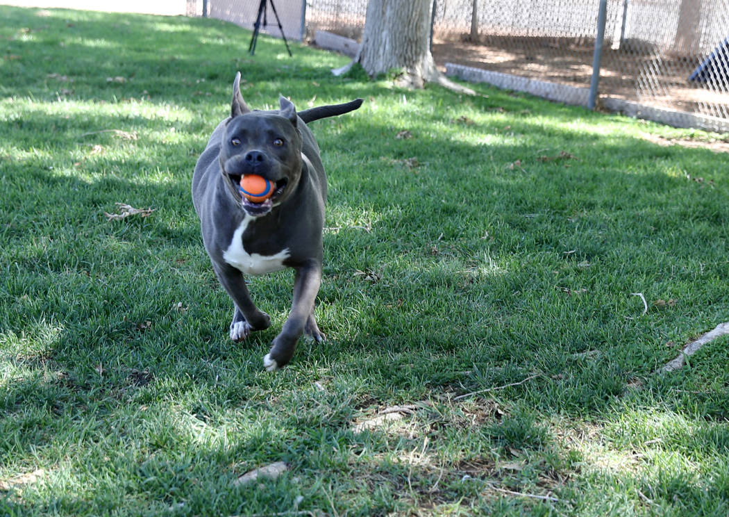 Diamond gets some exercise while waiting to be adopted at Henderson Animal Care and Control Tuesday, July 24, 2018. K.M. Cannon Las Vegas Review-Journal @KMCannonPhoto