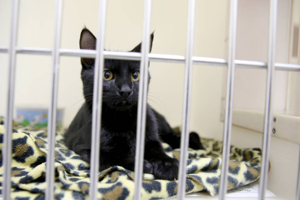A kitten waits to be adopted at Henderson Animal Care and Control, Tuesday, July 24, 2018. K.M. Cannon Las Vegas Review-Journal @KMCannonPhoto